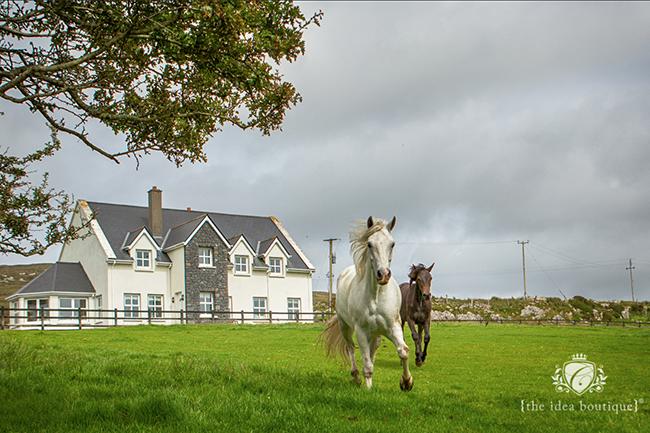 Connemara Ponies in Clifden Connemara Ireland