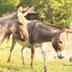 Laurie Hood Editorial Feature September/October 2014 Animal Issue - Donkeys
