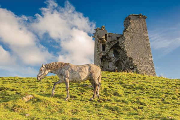 Connemara pony grazes the ruin of Renvyle Castle in Connemara, Ireland